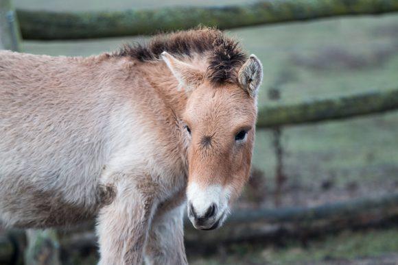 Wildpferd aus Döberitzer Heide in großer Mission – Przewalski-Hengst soll in China für Nachwuchs sorgen