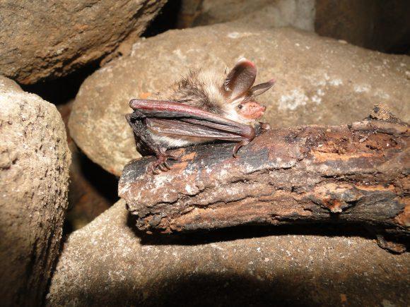Spandau: Witterung beeinflusst Winterruhe der Fledermäuse