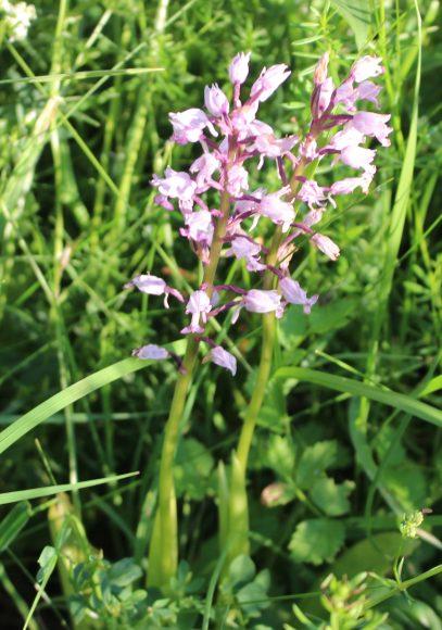 Schönwalde-Glien: Orchideen schützen im Teufelsbruch
