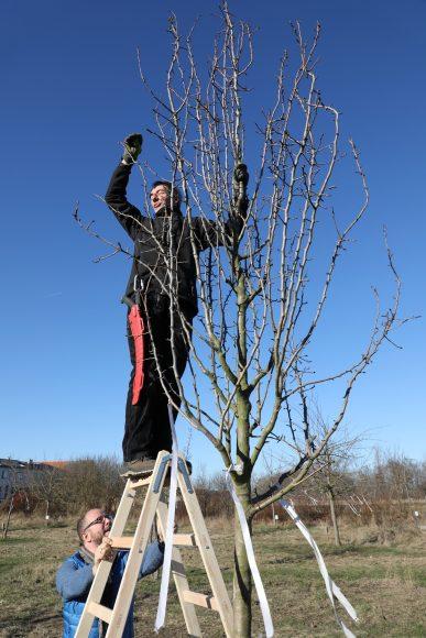 Alles für die Birne: Obstbaumschnitt im Birnengarten Ribbeck
