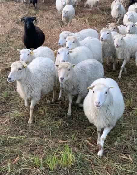 Mäh-Werk in Falkensee: 70 Schafe und eine Ziege betreiben Landschaftspflege