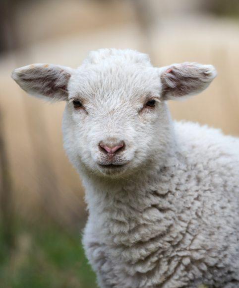 Fressen für die Artenvielfalt: 500 Schafe und 400 Lämmer heute in der Döberitzer Heide angekommen