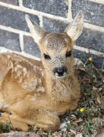 Rehkitz Gretchen in Pausin: Bärbel Eitner kümmert sich um verletzte und verstoßene Tiere!