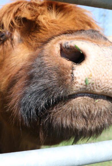Rinderglück: Rüdiger und Antje Rausch aus Falkensee züchten Highland Cattle!