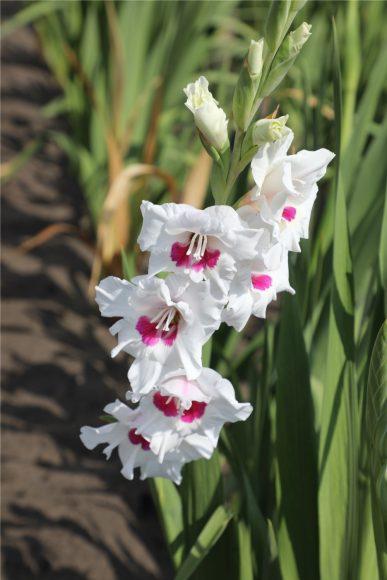 Bunte Gladiolen: Im Falkenseer Hofladen gibt es Blumen zum Selbstschneiden!