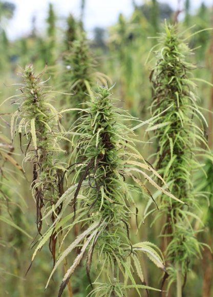 Graslandschaften: In Berge wird zu Forschungszwecken Cannabis angepflanzt!