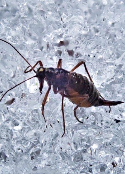 Insekten im Winter: Schneeflöhe haben zur Zeit Hochsaison