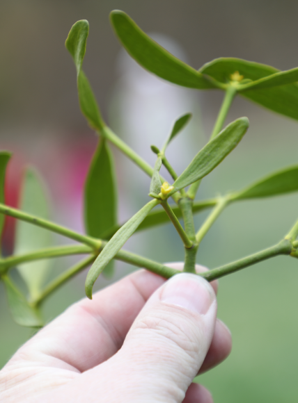 Tag des Baumes: Falkenseer Grüne empfehlen sanften Schnitt von Misteln zum Erhalt der Bäume