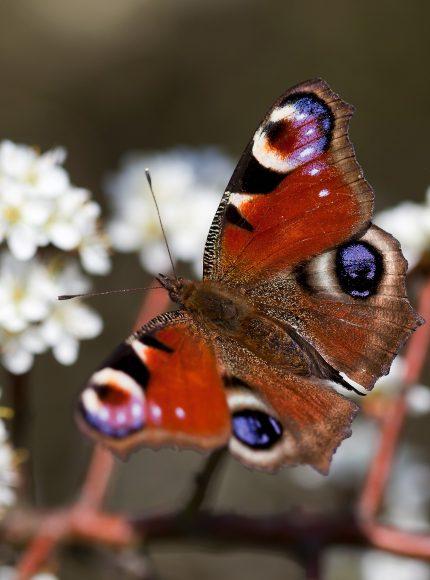 Sielmanns Natur-Ranger bleiben trotz Corona aktiv: Ein Spaziergang zum Thema Schmetterlinge in Sielmanns Naturlandschaft Döberitzer Heide