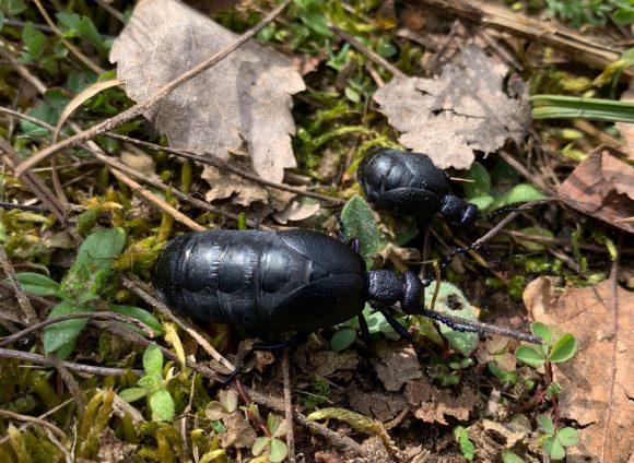 Der Schwarzblaue Ölkäfer ist in der Döberitzer Heide zu finden!