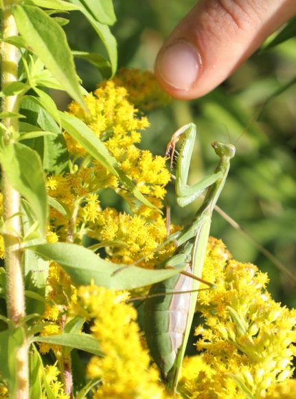 Beeindruckendes Insekt: Europäische Gottesanbeterin Mantis religiosa in Falkensee nachgewiesen!