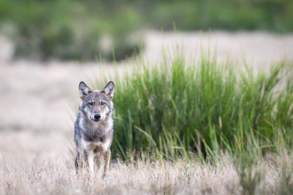 Der Wolf ist da: Ein Wolfsrudel lebt in der Döberitzer Heide!